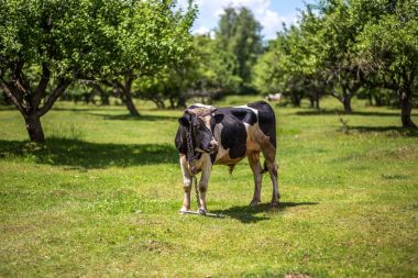 A cow is grazing in a meadow. Dairy cow. Rustic cow