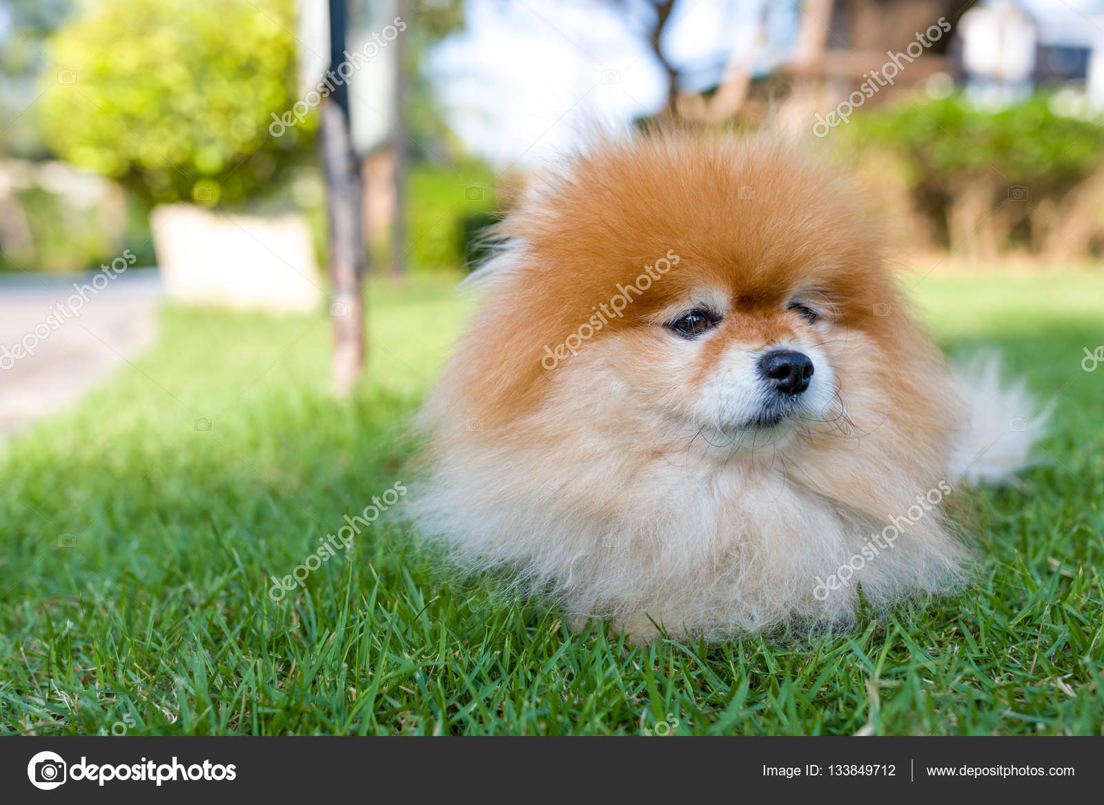 Pomeranian Dog Sitting In Lawn Stock Photo C Supparsorn 133849712