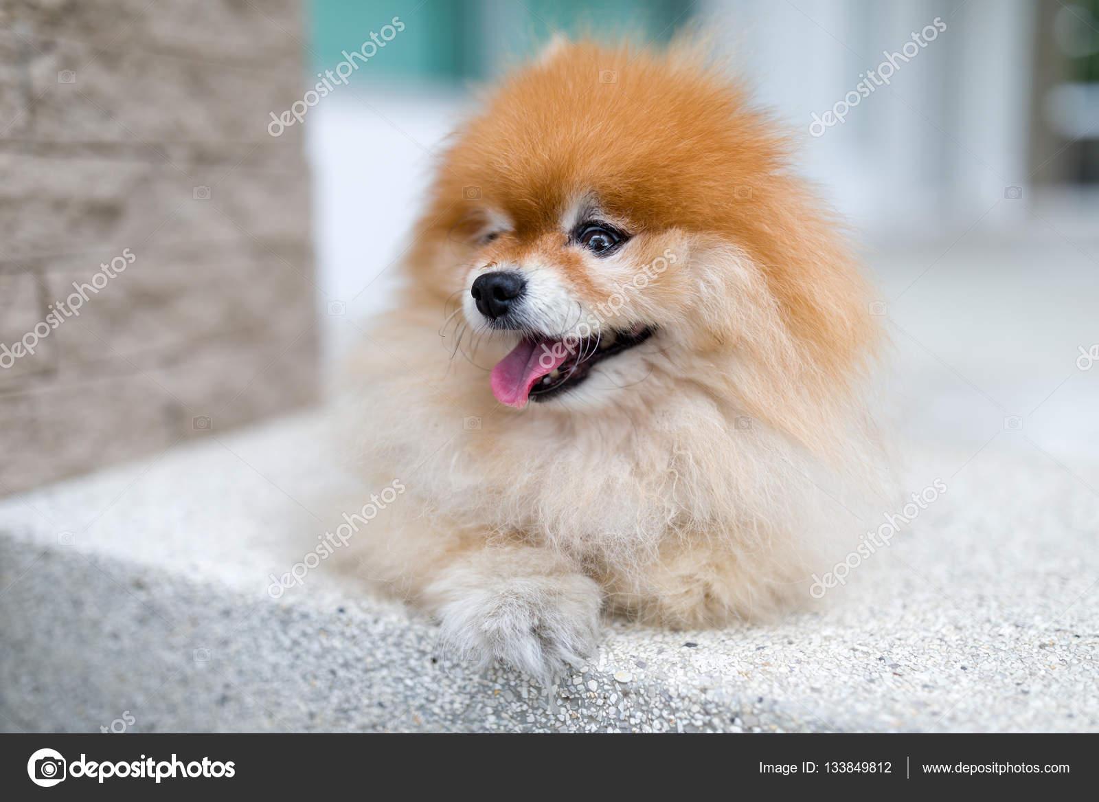 Pomeranian Dog Sitting Outdoor Stock Photo C Supparsorn 133849812