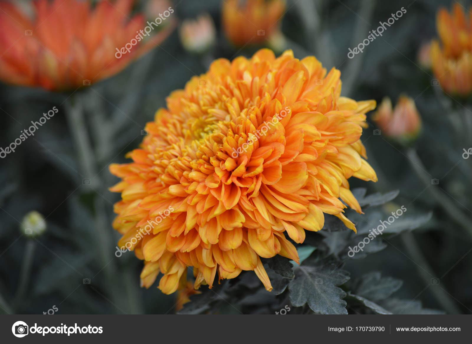 Mum Flower In The Garden Stock Photo C Trek13 170739790