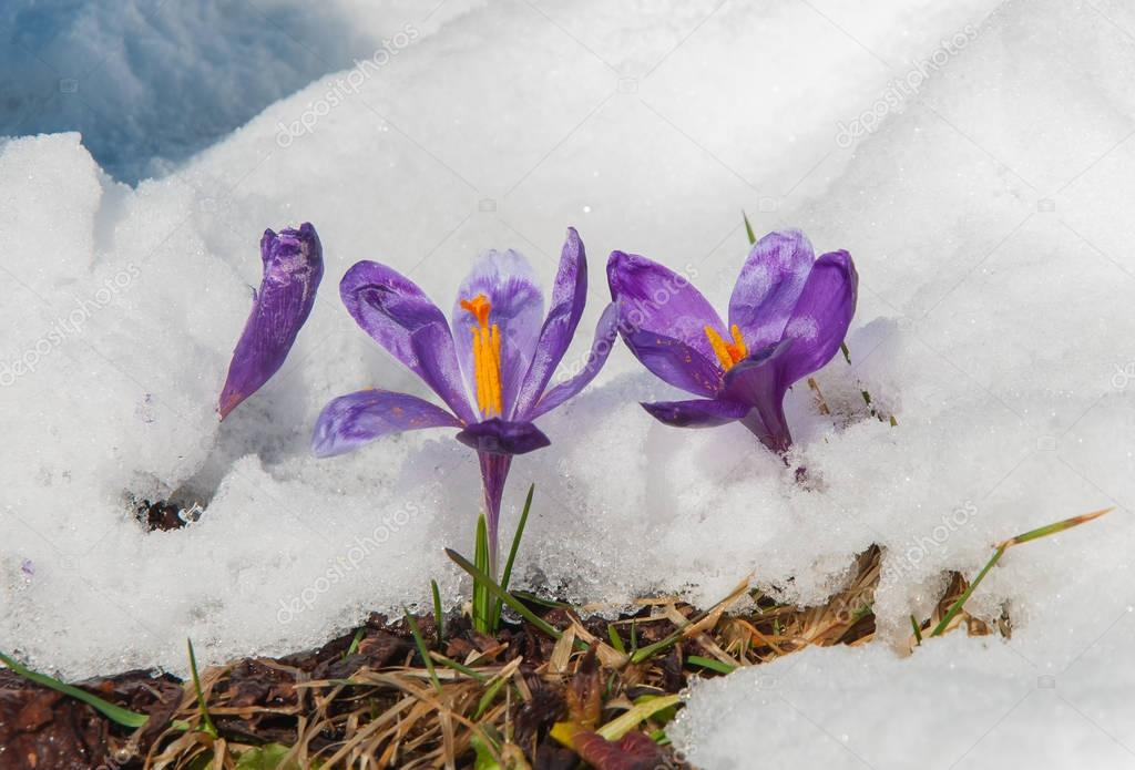 Spring crocuses flowering from the snow towards spring sun