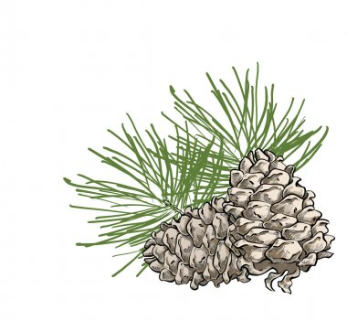 Vector composition with cedar cone and coniferous brunch