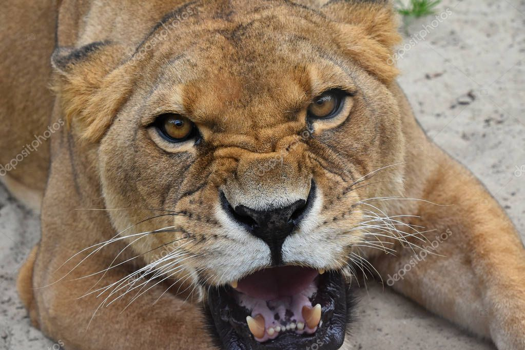 Close up portrait of angry furious lioness roar