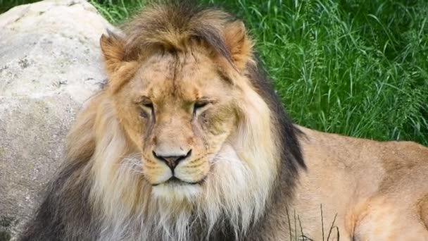 Zblízka portrétní muž Lev