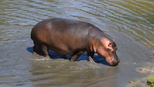 Nahaufnahme eines Flusspferdes, das aus dem Wasser steigt