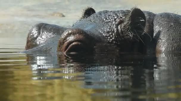 Nahaufnahme eines im Wasser schwimmenden Flusspferdes
