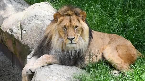 Közelről oroszlán férfi portréja