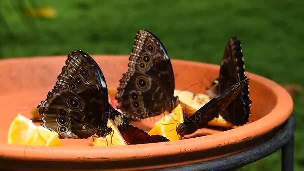 Brown and blue tropical butterflies eating fruits