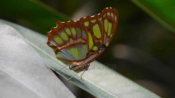 Zelené a hnědé tropický motýl na list