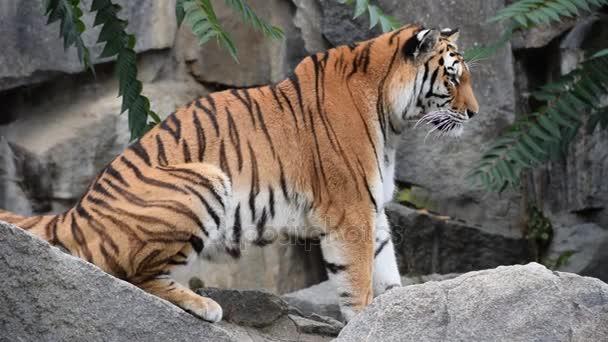 Közelről profil Amur szibériai tigris, a sziklák