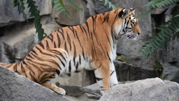 Zblízka profil Amur sibiřského tygra na skalách