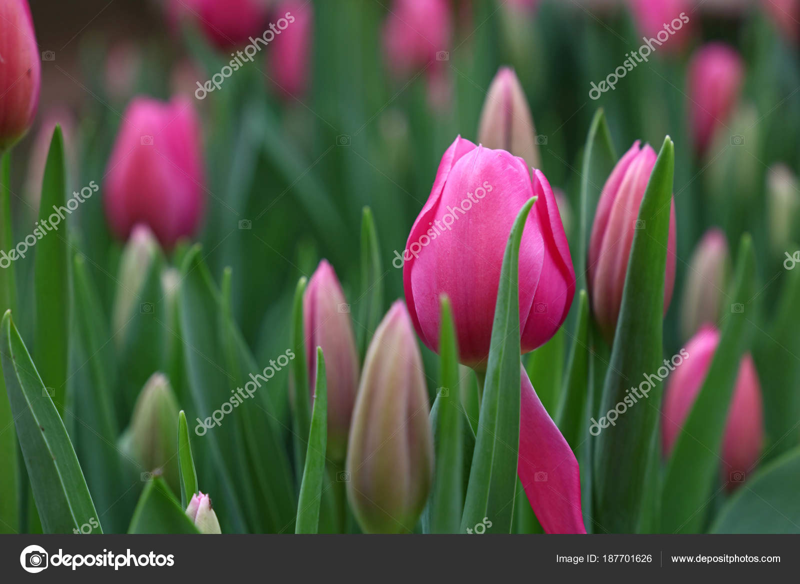 Pink Tulip Flowers With Green Leaves Stock Photo
