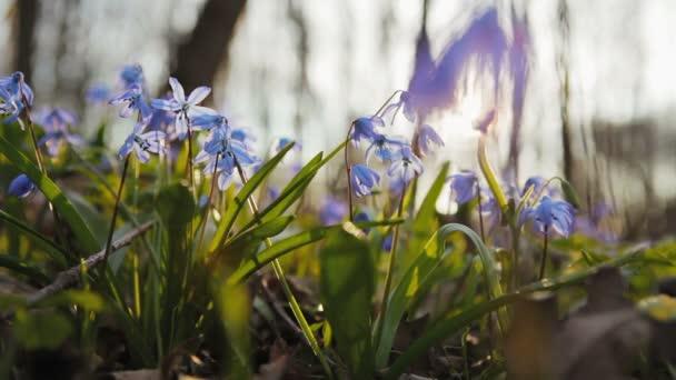 Skupina Scilla květina v lese při západu slunce