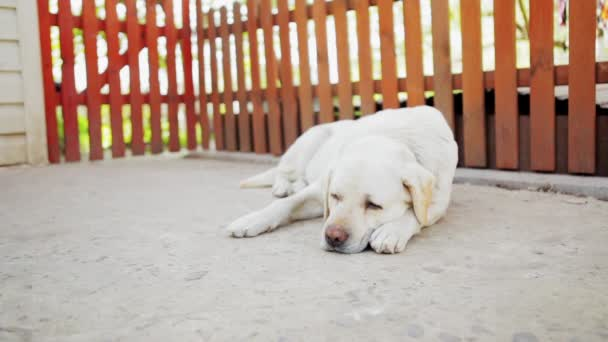 Labrador Dog Is Feeling Lonely