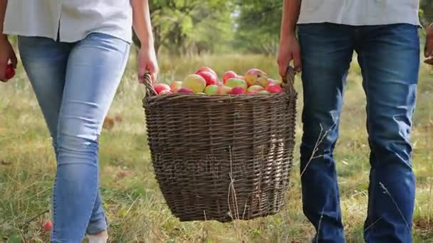 Farmers carry a full basket of apples. Closeup