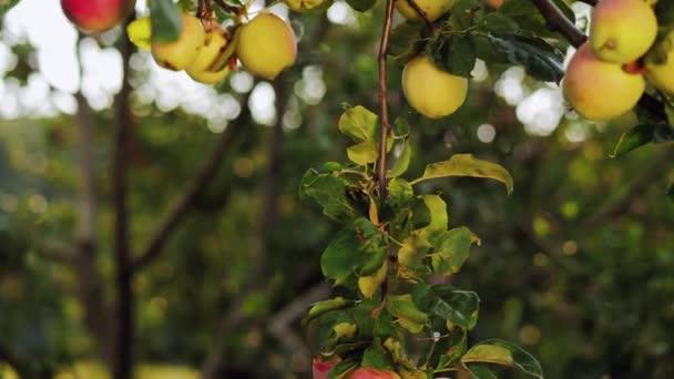Apple garden on a sunny day
