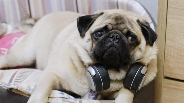 Funny cute pug dog listening to music on wireless headphones, resting in a dog bed