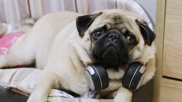 Vicces aranyos mopsz kutya hallgat zenét vezeték nélküli fejhallgató, pihen egy kutyaágyban