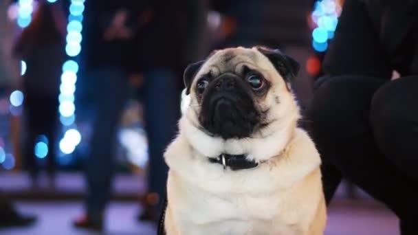 Aranyos mopsz kutya portré újévi party a város karácsonyfa, bokeh a koszorúk és az emberek a háttérben