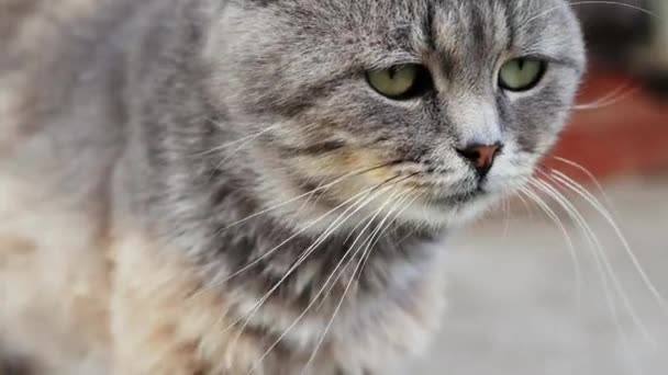 Close-up of a beautiful serious purebred cat portrait. Cat looking at camera