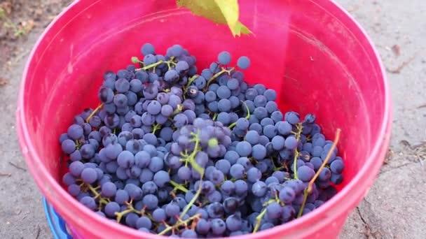 szüret, érett kék szőlő dobott egy vödör