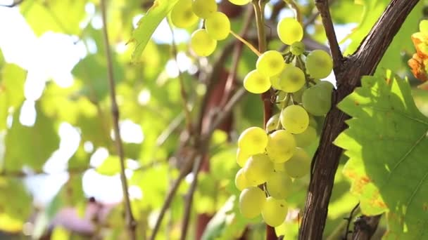 green grapes on a branch with green leaves in the garden, grapes winds on the grid