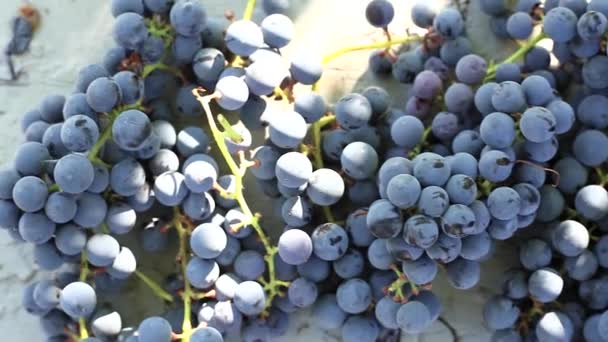 Harvest ripe blue grapes, bunches of grapes lie in a row