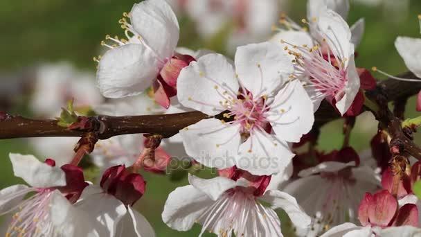 Meruňkový květ Detail