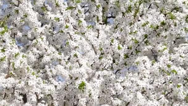 Strom s květy na jaře