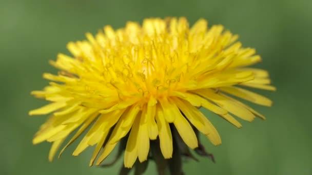 Kvetoucí Pampeliška zblízka