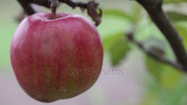 ripe apple on a branch
