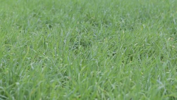 zelené trávě detail