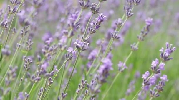 closeup lavender blooms