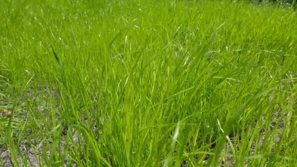 green lawn closeup