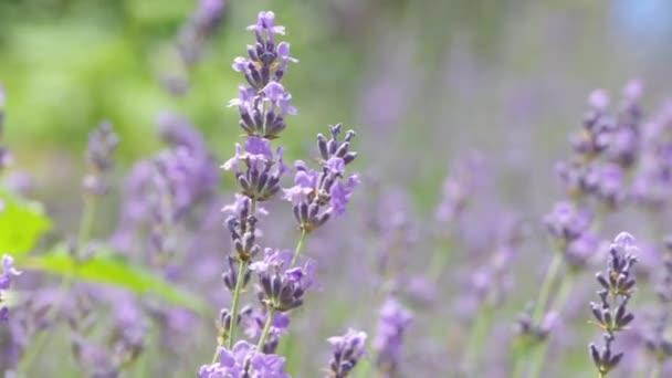 lavender blossoms close-up.