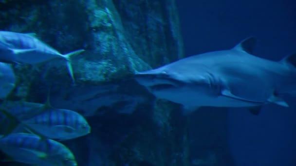 Úszás egy az akvárium cápa