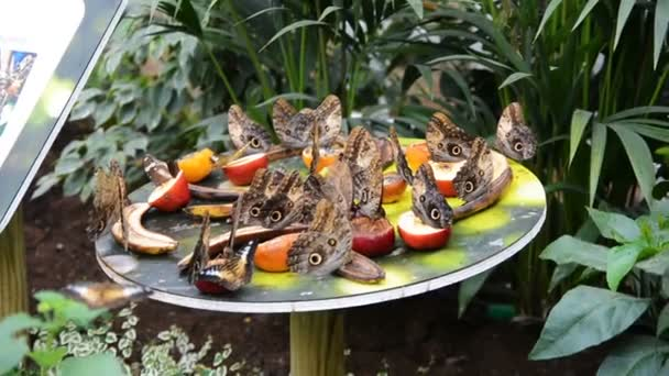 Caligo telamonius memnon (motýl bledý wowl) motýli jedí ovoce.