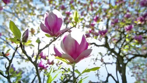 Magnolia soulangeana zblízka