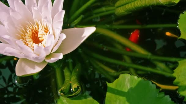 Close Up Of A Water Lily Flower And Fish In A Pond