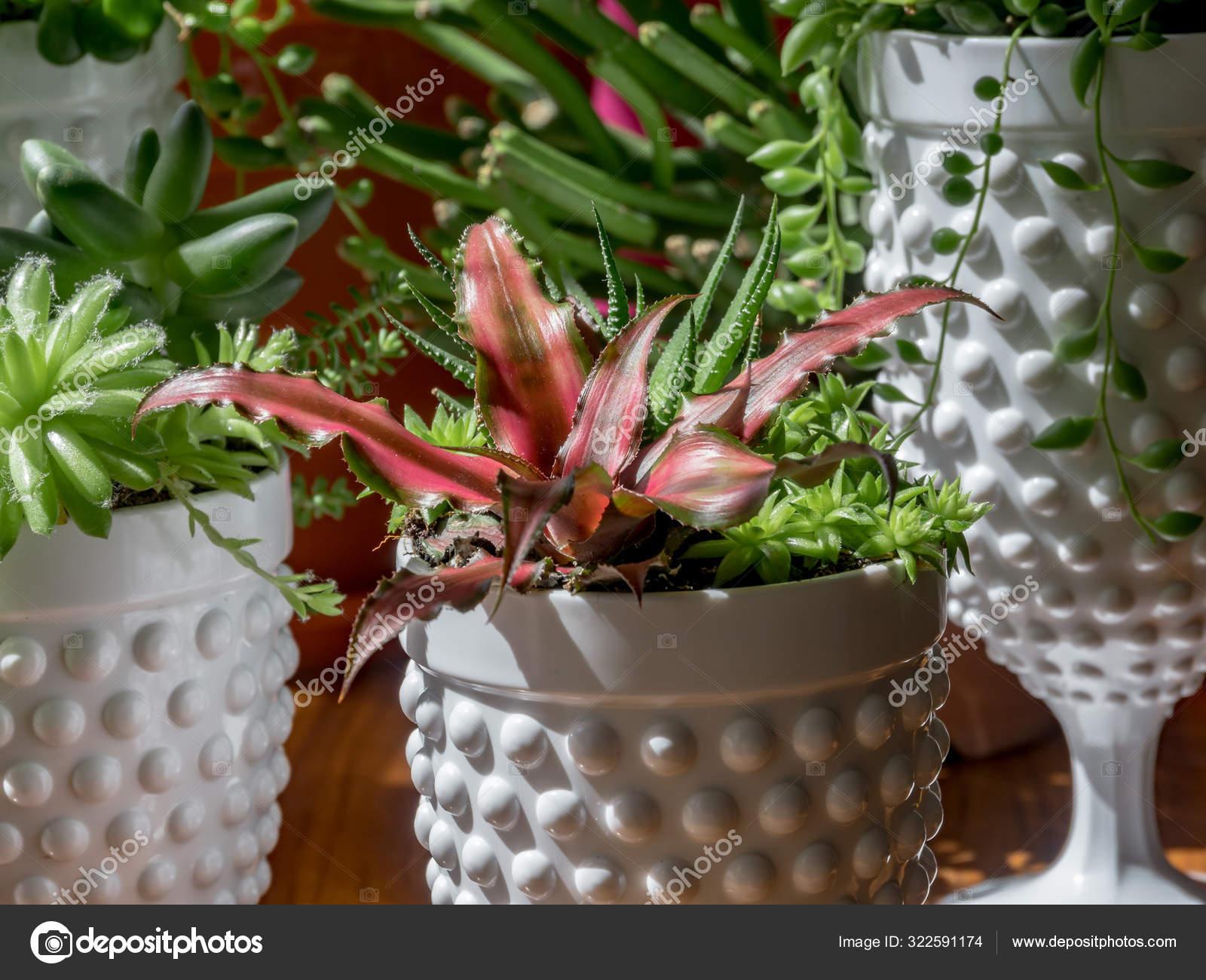 Detail Rare Succulent Plant Modern Pot Interior Colorfur Pink Crassa Stock Photo C Elroce 322591174