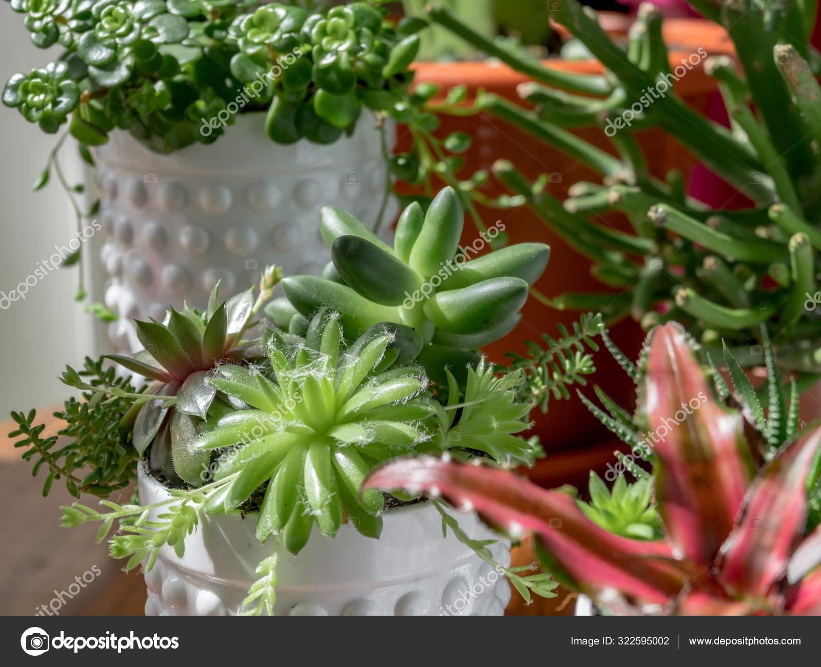 Composition Rare Succulent Plants Interior Modern Pots Pachyphytum Compactum Cristata Stock Photo Image By C Elroce 322595002