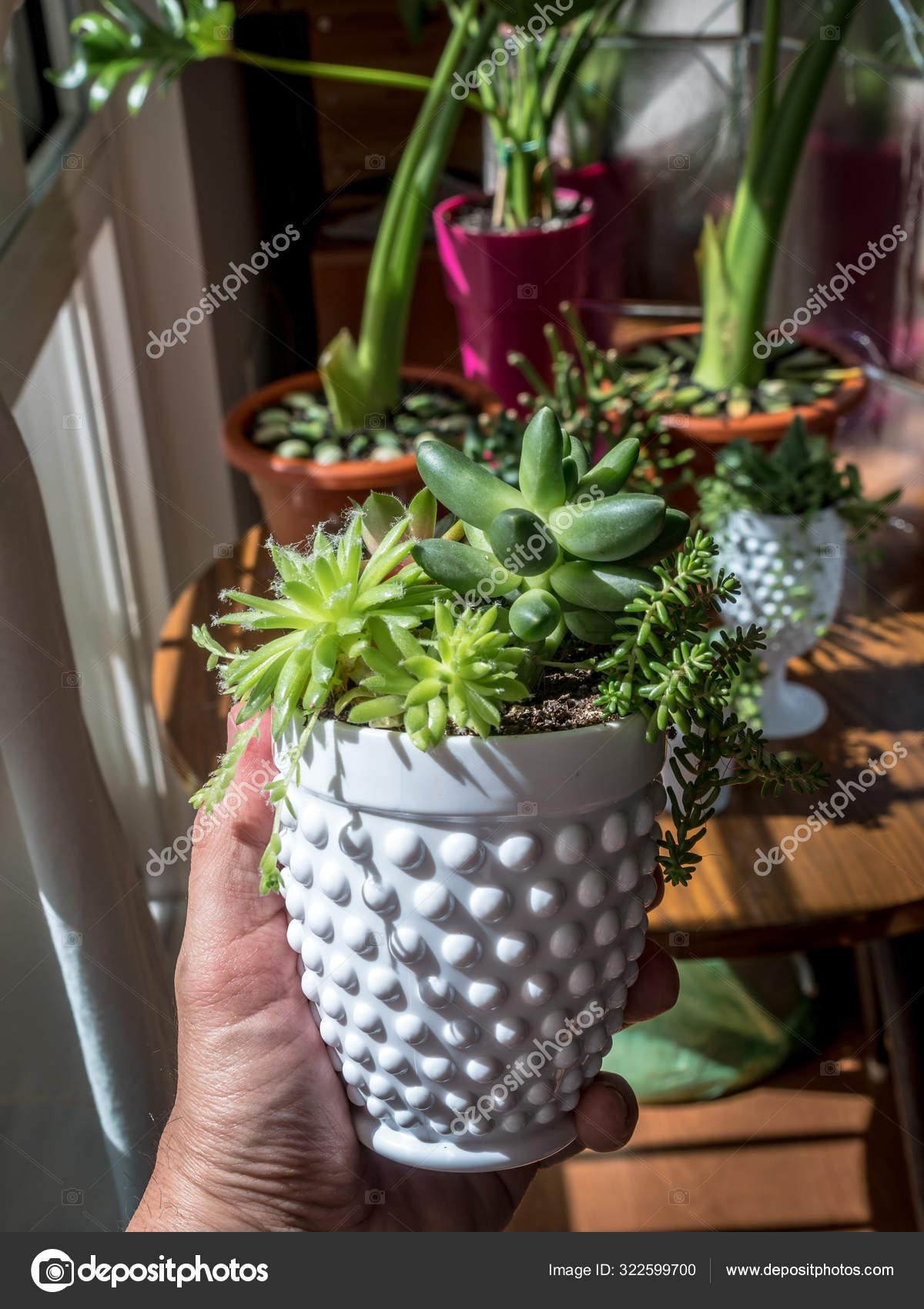 Composition Rare Succulent Plants Interior Modern Pot Pachyphytum Compactum Cristata Stock Photo Image By C Elroce 322599700