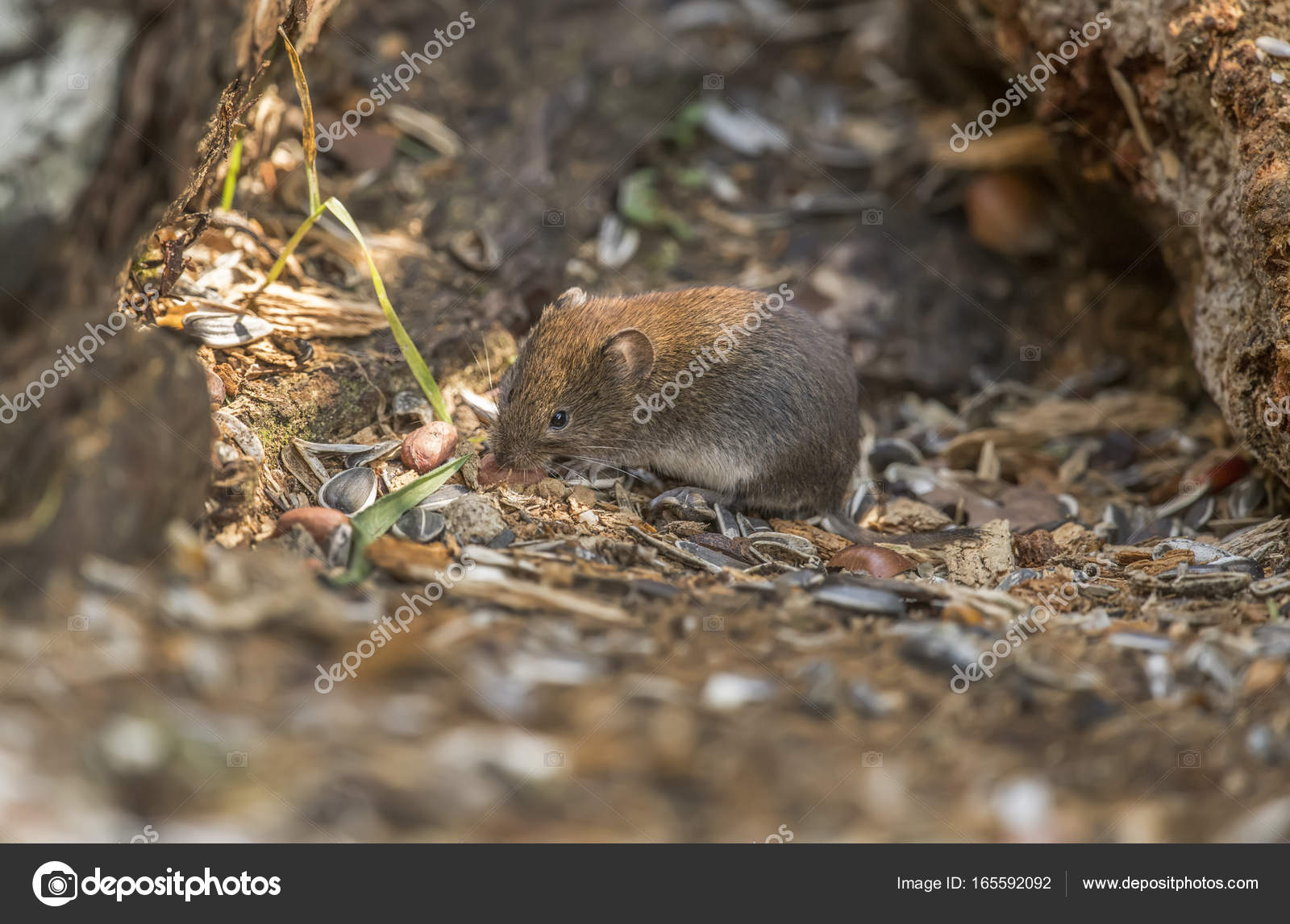 Vole On The Forest Floor Eating Stock Photo C Abiwarner