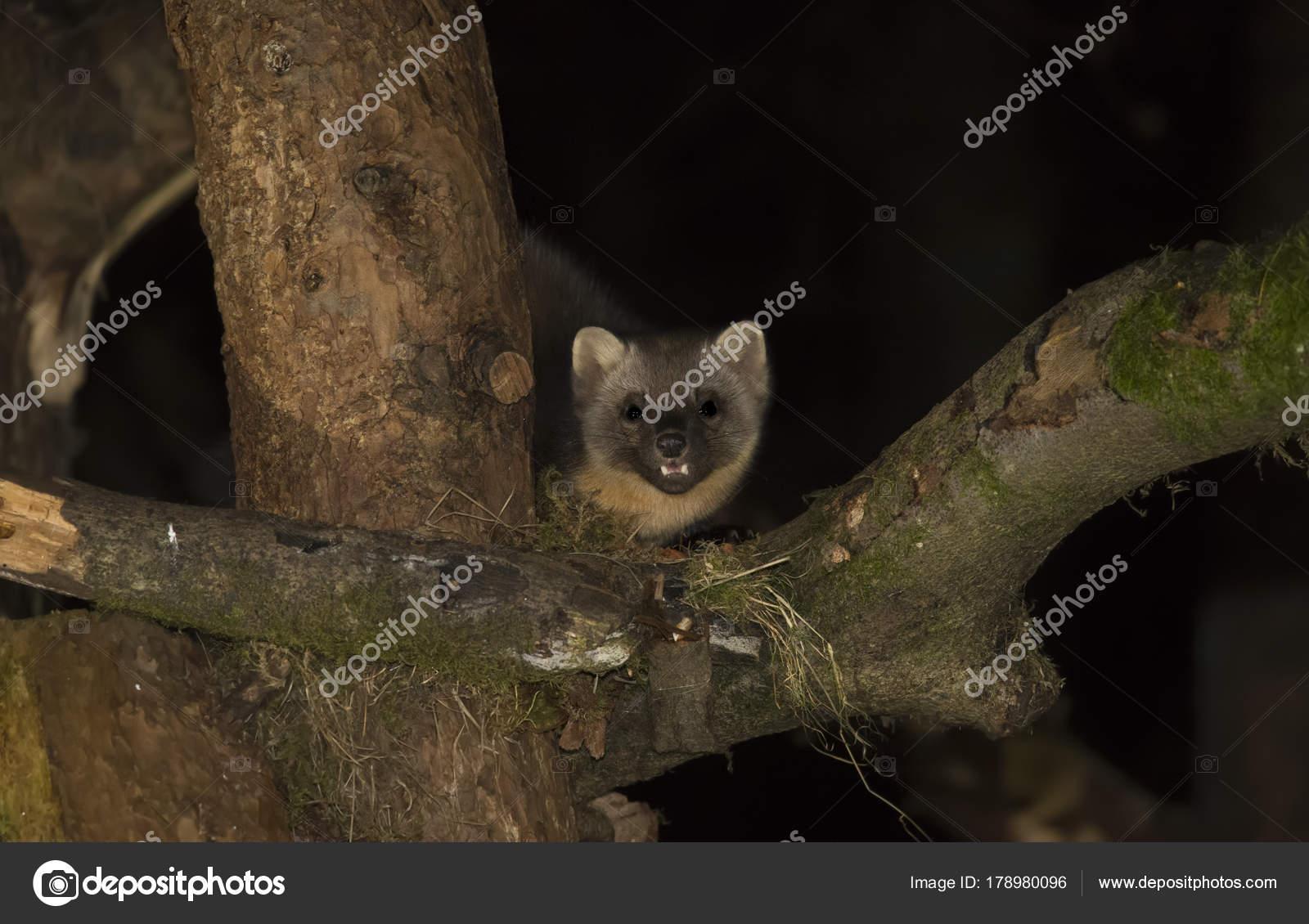 martre des pins sur la grosse branche d un arbre photographie abiwarner 178980096. Black Bedroom Furniture Sets. Home Design Ideas