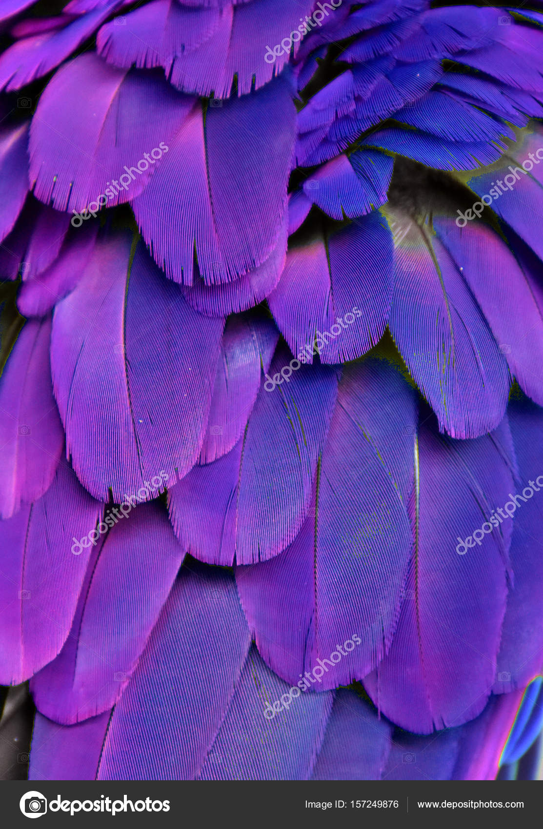 blue and purple macaw feathers stock photo michaelfitzsimmons