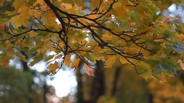 Podzimní les - krásná javor s barevnými listy