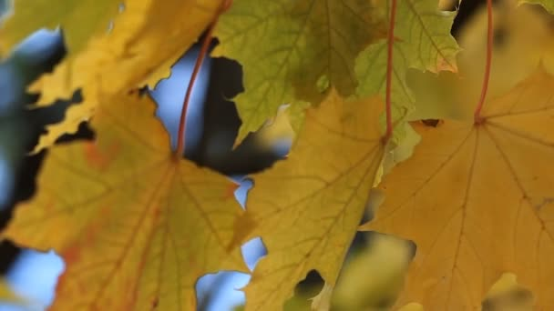 Autumn forest, maple leaves close-up.