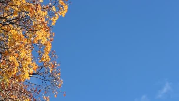 Slunečný den v podzimním lese. Podzimní javor na pozadí modré oblohy