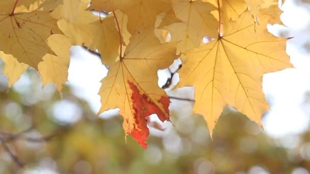 Arany ősz, hulló levelek, napos őszi parkban