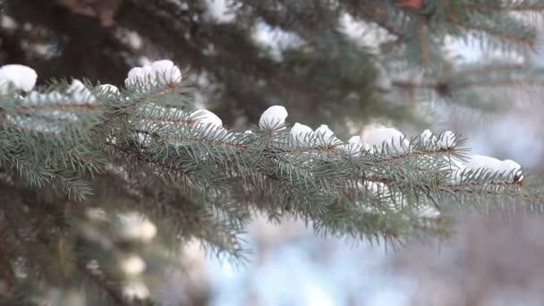 Jehličnatý les v zimě. Větve jehličnatého stromu pod sněhem